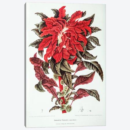 Amarantus Tricolor (Edible Amaranth) Canvas Print #HVN1} by Berthe Hoola van Nooten Canvas Artwork