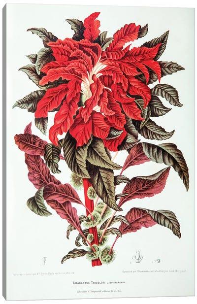 Amarantus Tricolor (Edible Amaranth) Canvas Art Print