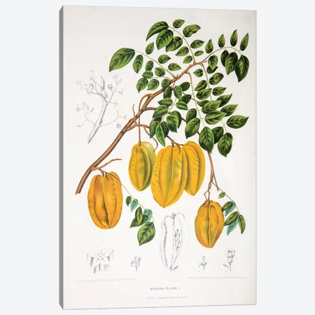 Averrhoa Bilimbi Canvas Print #HVN2} by Berthe Hoola van Nooten Canvas Art