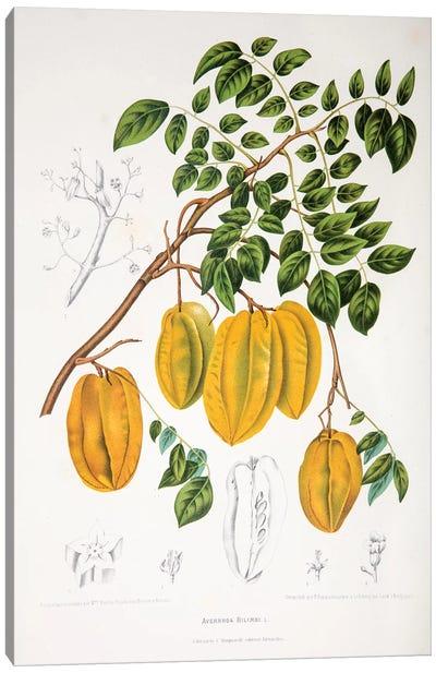 Hoola van Nooten's Flowers, Fruits And Foliage From Java Series: Averrhoa Bilimbi Canvas Print #HVN2