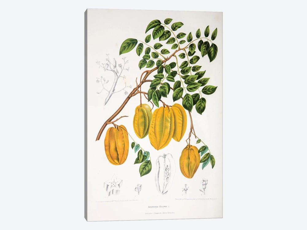 Averrhoa Bilimbi by Berthe Hoola van Nooten 1-piece Canvas Art Print