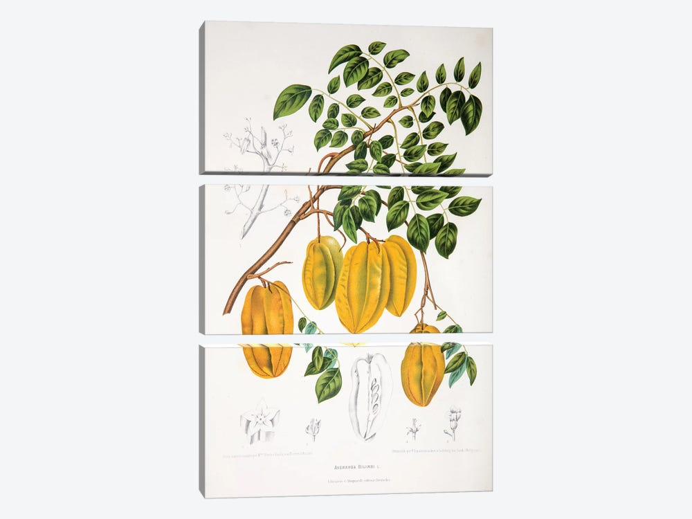 Averrhoa Bilimbi by Berthe Hoola van Nooten 3-piece Canvas Print
