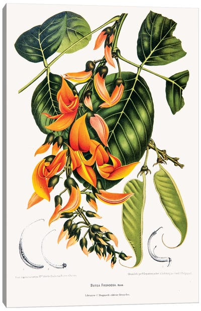 Hoola van Nooten's Flowers, Fruits And Foliage From Java Series: Butea Frondosa (Flame Of The Forest) Canvas Print #HVN3
