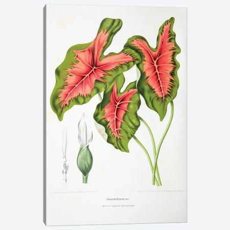 Caladium Bicolor (Elephant Ear) Canvas Print #HVN4} by Berthe Hoola van Nooten Art Print