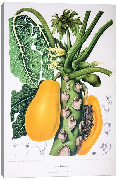 Hoola van Nooten's Flowers, Fruits And Foliage From Java Series: Carica Papaya Canvas Print #HVN5