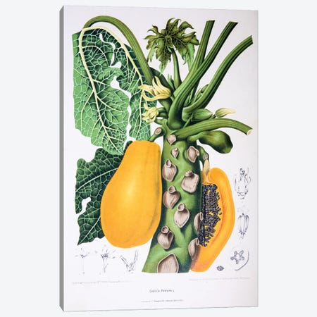 Carica Papaya Canvas Print #HVN5} by Berthe Hoola van Nooten Art Print