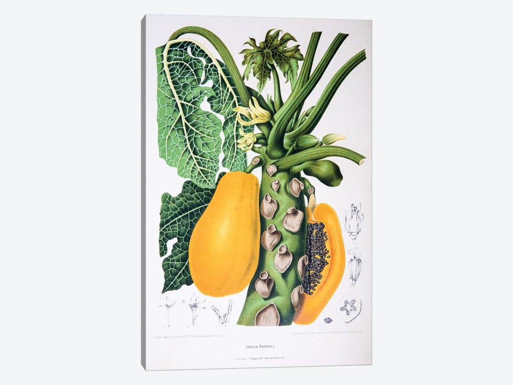 Carica Papaya by Berthe Hoola van Nooten 1-piece Canvas Art