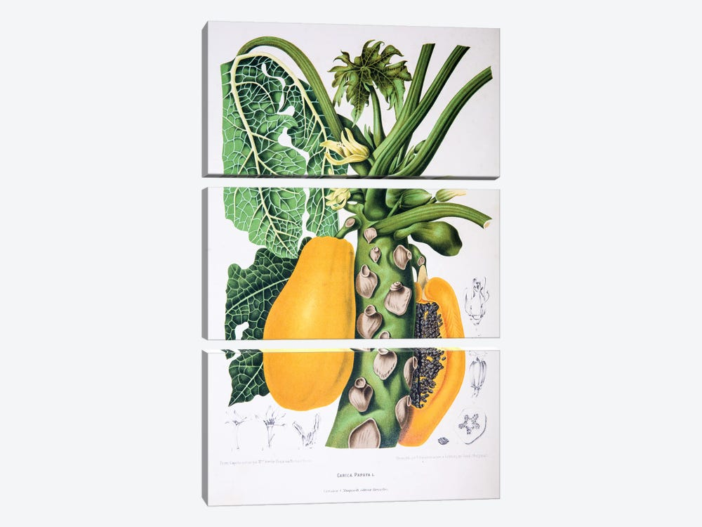Carica Papaya by Berthe Hoola van Nooten 3-piece Canvas Artwork