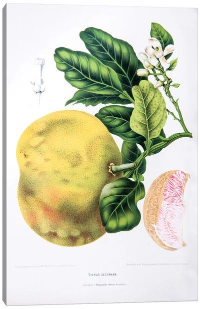 Hoola van Nooten's Flowers, Fruits And Foliage From Java Series: Citrus Decumana (Pomelo) Canvas Print #HVN6