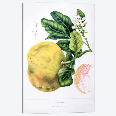 Citrus Decumana (Pomelo) Canvas Print #HVN6} by Berthe Hoola van Nooten Canvas Art Print