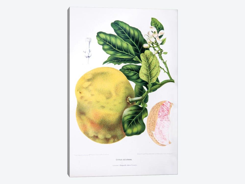 Citrus Decumana (Pomelo) by Berthe Hoola van Nooten 1-piece Canvas Art Print