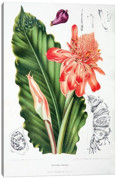 Elettaria Speciosa (Torch Ginger) Canvas Art Print