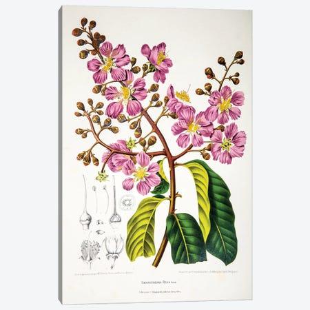 Lagerstroemia Regia (Queen's Crape-Myrtle) Canvas Print #HVN8} by Berthe Hoola van Nooten Canvas Artwork
