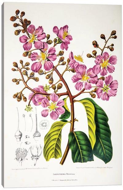 Lagerstroemia Regia (Queen's Crape-Myrtle) Canvas Art Print