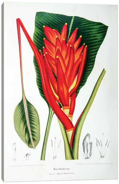 Musa Coccinea (Scarelt Banana) Canvas Art Print