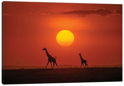 Giraffes In The Sunset Canvas Art Print
