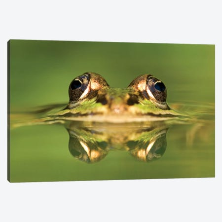 Edible Frog With Reflection, Germany Canvas Print #IAR10} by Ingo Arndt Canvas Wall Art