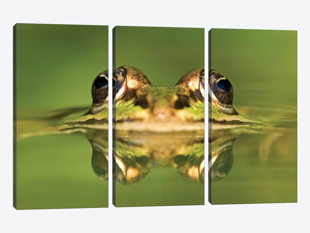 Edible Frog With Reflection, Germany by Ingo Arndt 3-piece Canvas Artwork