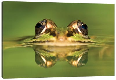 Edible Frog With Reflection, Germany Canvas Art Print