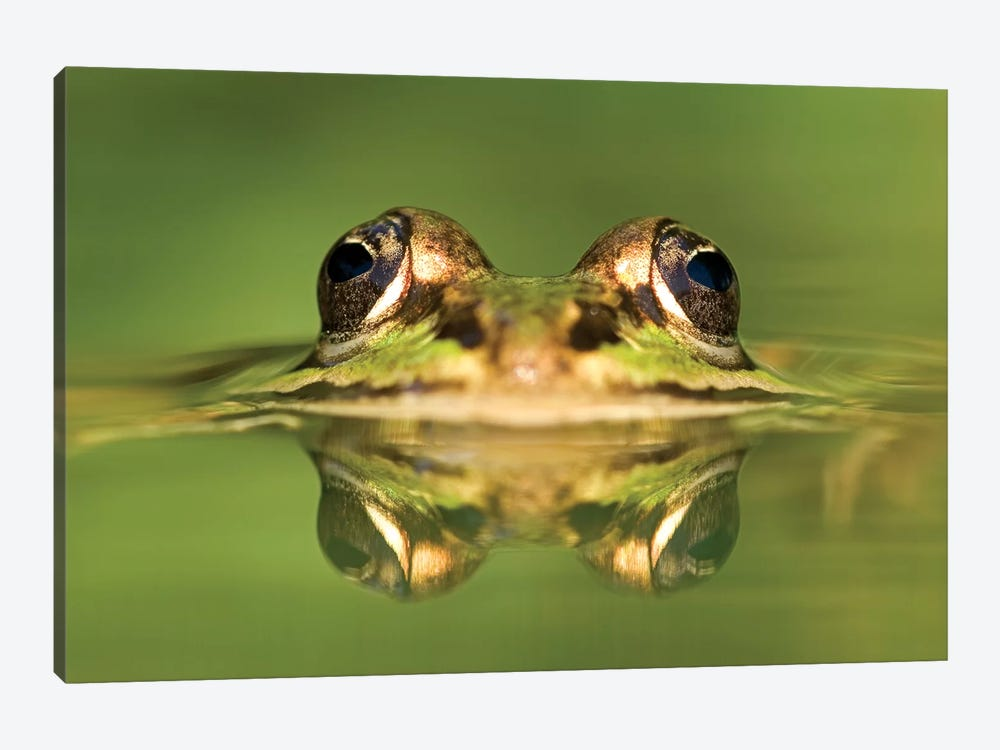 Edible Frog With Reflection, Germany by Ingo Arndt 1-piece Canvas Artwork