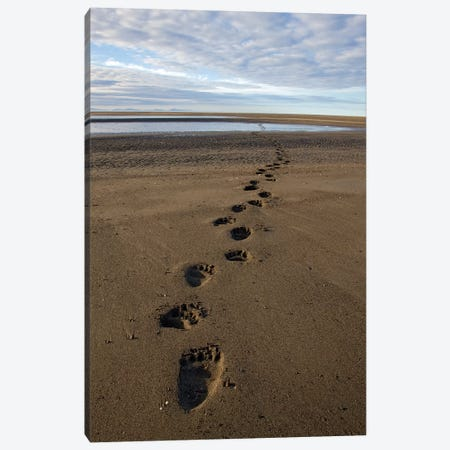 Grizzly Bear Tracks On Tidal Flats, Alaska Canvas Print #IAR16} by Ingo Arndt Canvas Art Print