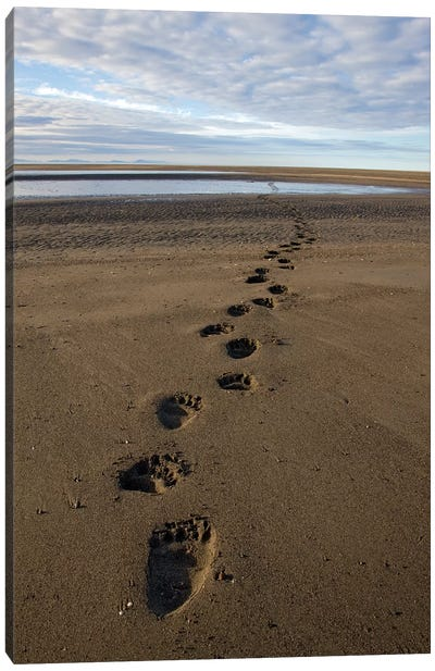 Grizzly Bear Tracks On Tidal Flats, Alaska Canvas Art Print