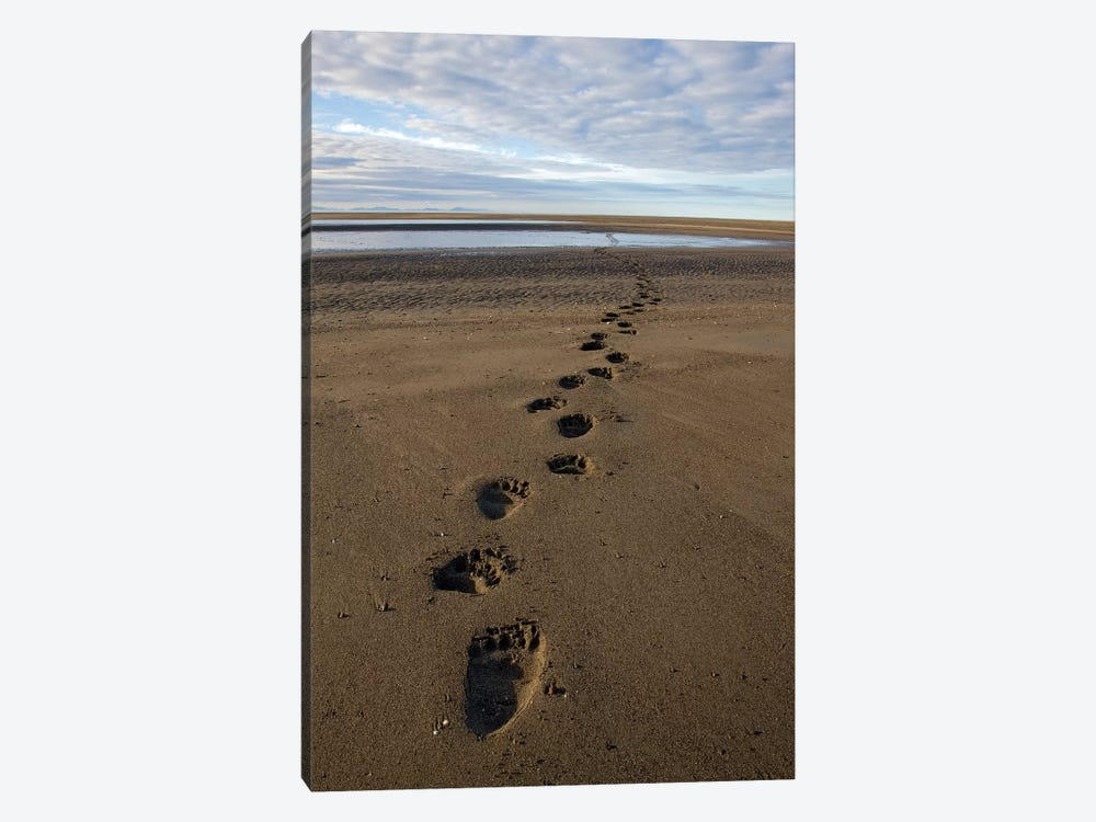 Grizzly Bear Tracks On Tidal Flats, Alaska by Ingo Arndt 1-piece Canvas Artwork