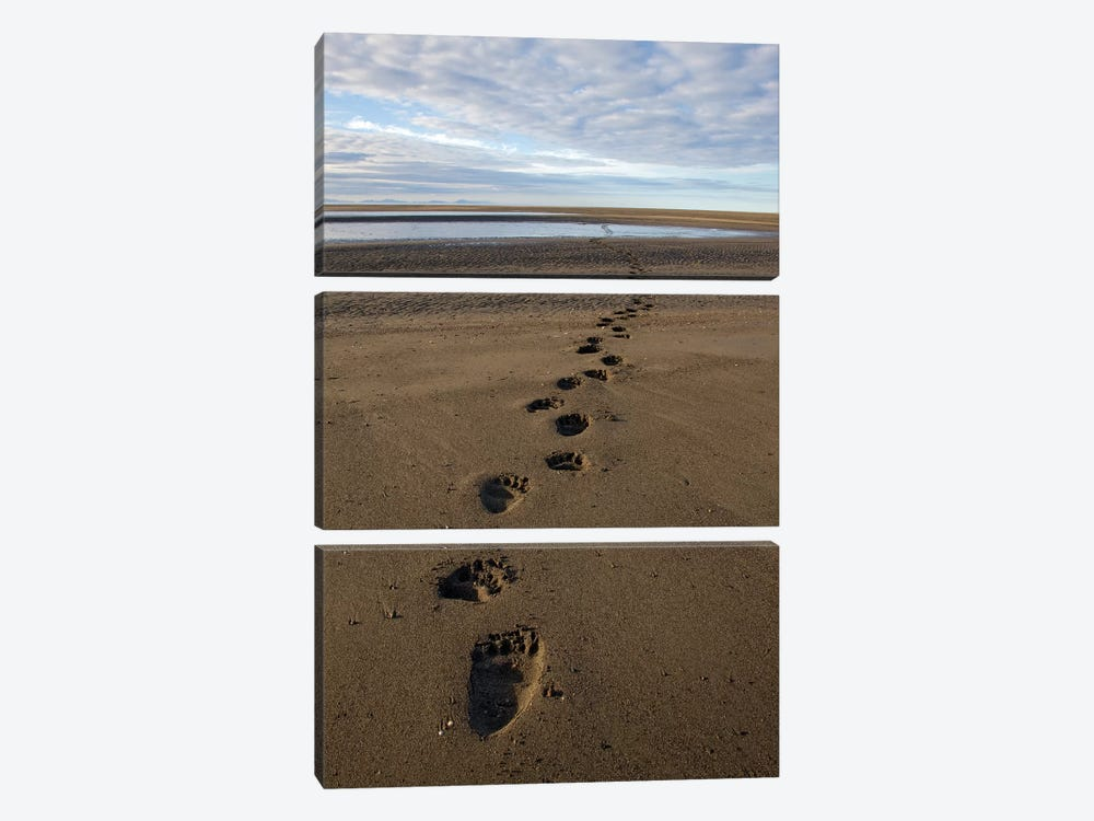 Grizzly Bear Tracks On Tidal Flats, Alaska by Ingo Arndt 3-piece Canvas Wall Art