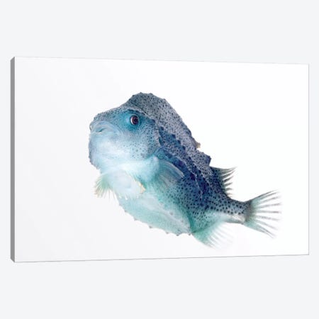 Lumpfish Twenty Seven Centimeters Long, Helgoland, Germany Canvas Print #IAR17} by Ingo Arndt Art Print