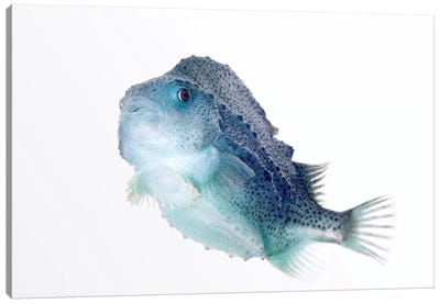 Lumpfish Twenty Seven Centimeters Long, Helgoland, Germany Canvas Art Print