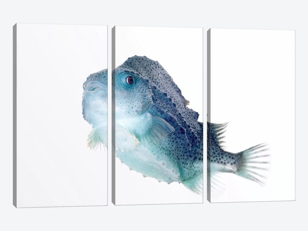Lumpfish Twenty Seven Centimeters Long, Helgoland, Germany by Ingo Arndt 3-piece Canvas Art Print