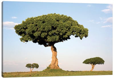 Acacia Trees, Masai Mara National Reserve, Kenya Canvas Art Print