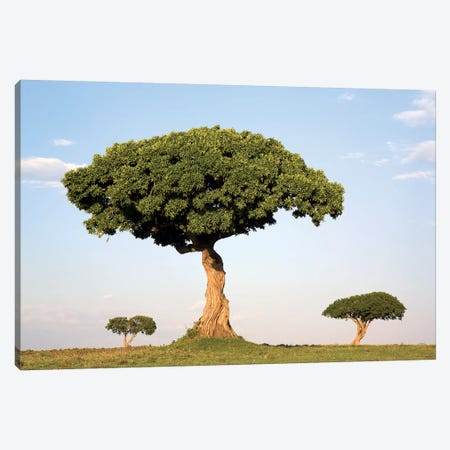 Acacia Trees, Masai Mara National Reserve, Kenya Canvas Print #IAR1} by Ingo Arndt Canvas Art Print