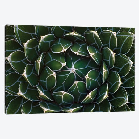 Queen Victoria's Agave, Saguaro National Park, Arizona Canvas Print #IAR20} by Ingo Arndt Art Print