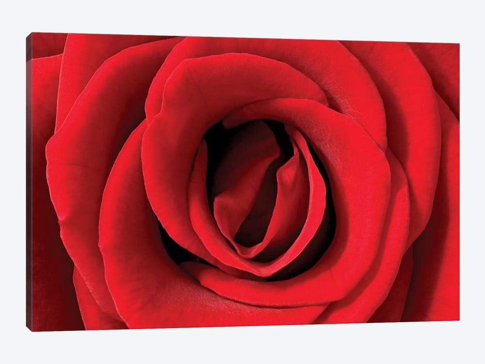 Rose Detail, Germany by Ingo Arndt 1-piece Canvas Wall Art