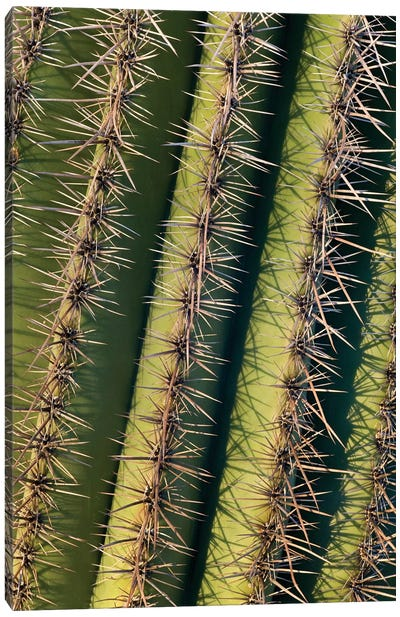 Saguaro Cactus Spines, Saguaro National Park, Arizona Canvas Art Print