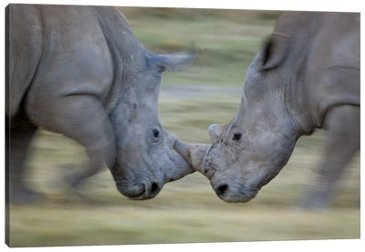 White Rhinoceros Males Fighting, Lake Nakuru, Kenya Canvas Art Print
