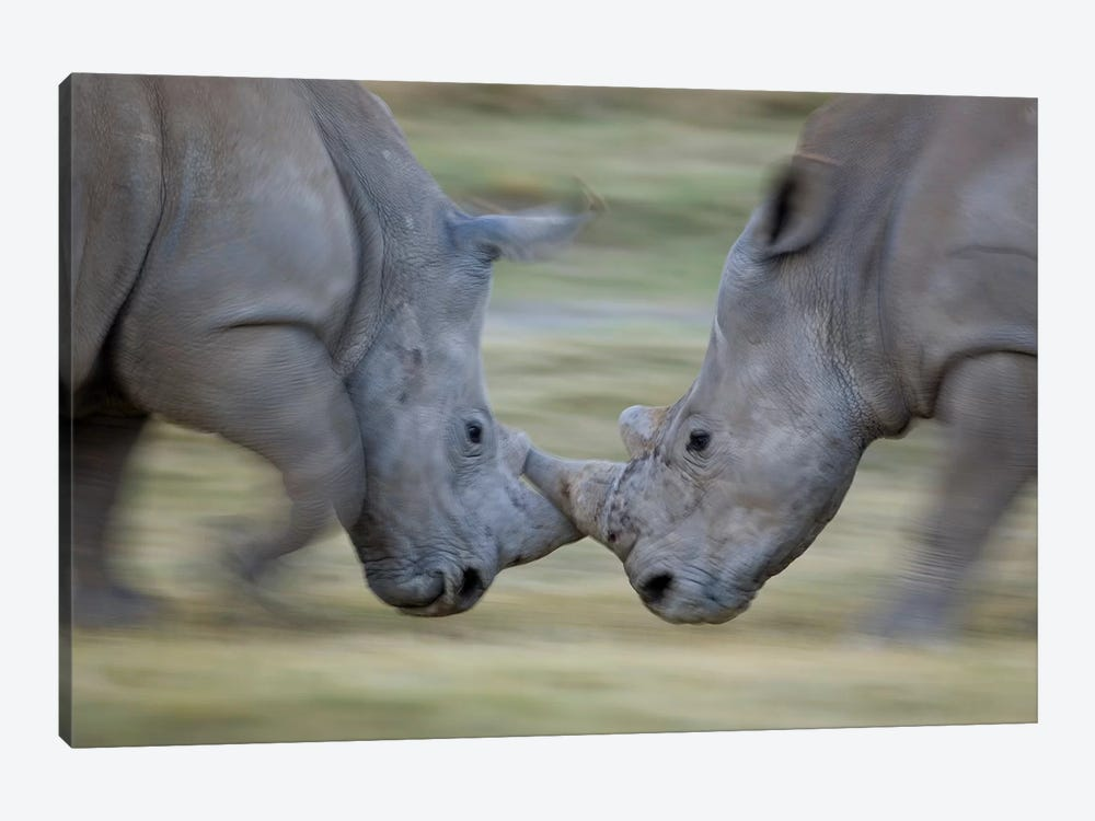 White Rhinoceros Males Fighting, Lake Nakuru, Kenya by Ingo Arndt 1-piece Art Print