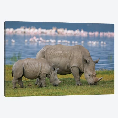 White Rhinoceros Mother And Juvenile Grazing, Lake Nakuru, Kenya Canvas Print #IAR25} by Ingo Arndt Canvas Wall Art