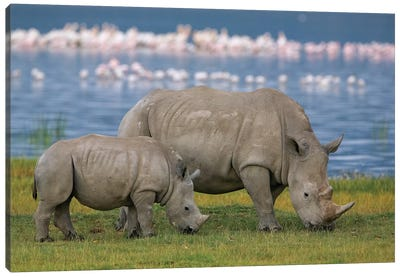 White Rhinoceros Mother And Juvenile Grazing, Lake Nakuru, Kenya Canvas Art Print