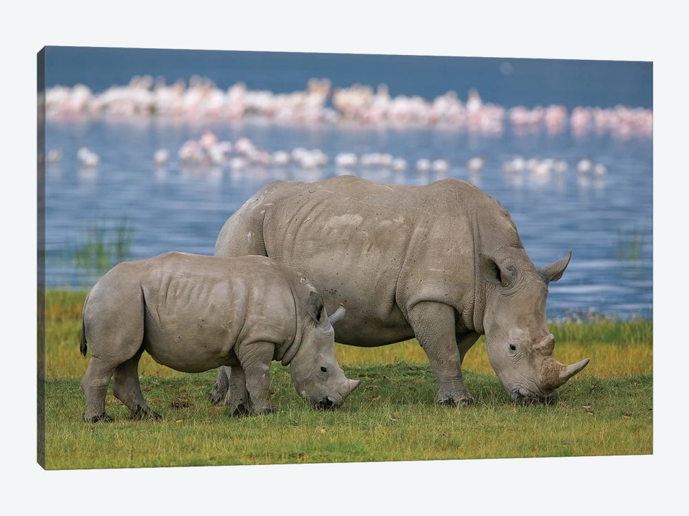 White Rhinoceros Mother And Juvenile Grazing, Lake Nakuru, Kenya by Ingo Arndt 1-piece Canvas Art