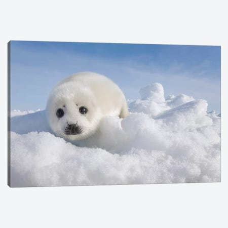 Harp Seal Pup On Ice, Magdalen Islands, Gulf Of Saint Lawrence, Quebec, Canada Canvas Print #IAR26} by Ingo Arndt Canvas Wall Art