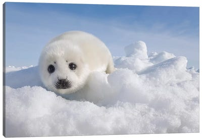Harp Seal Pup On Ice, Magdalen Islands, Gulf Of Saint Lawrence, Quebec, Canada Canvas Art Print