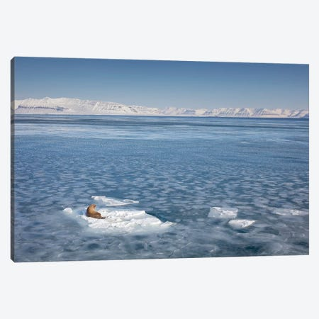 Walrus On Ice Floe, Svalbard, Spitsbergen, Norway Canvas Print #IAR27} by Ingo Arndt Canvas Art