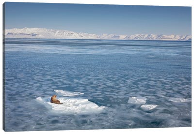 Walrus On Ice Floe, Svalbard, Spitsbergen, Norway Canvas Art Print