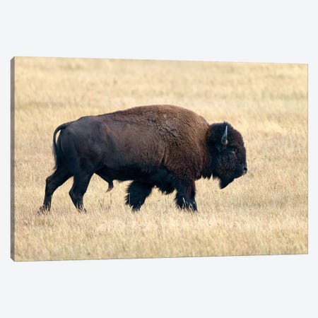 American Bison Bull, Grand Teton National Park, Wyoming Canvas Print #IAR3} by Ingo Arndt Canvas Art Print