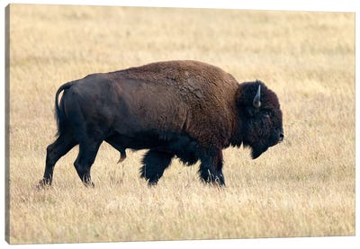 American Bison Bull, Grand Teton National Park, Wyoming Canvas Art Print