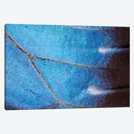 Blue Morpho Butterfly Wing, Costa Rica Canvas Print #IAR4} by Ingo Arndt Canvas Artwork