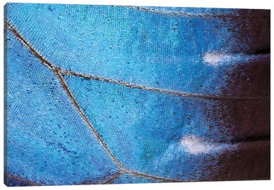 Blue Morpho Butterfly Wing, Costa Rica Canvas Art Print