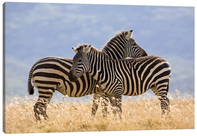 Burchell's Zebra Pair, Lake Nakuru National Park, Kenya Canvas Art Print
